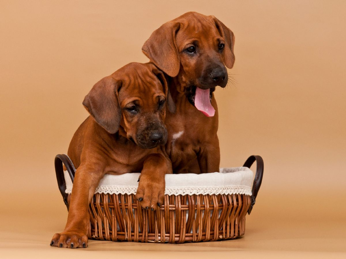 Rhodesian Ridgeback Puppies Texas
